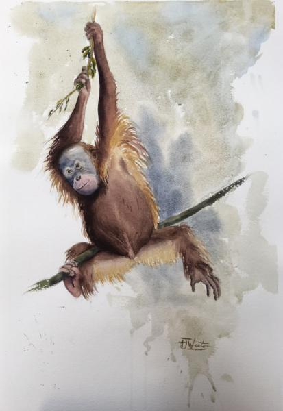 © Tony Weston - Hanging by a thread, Orangutan