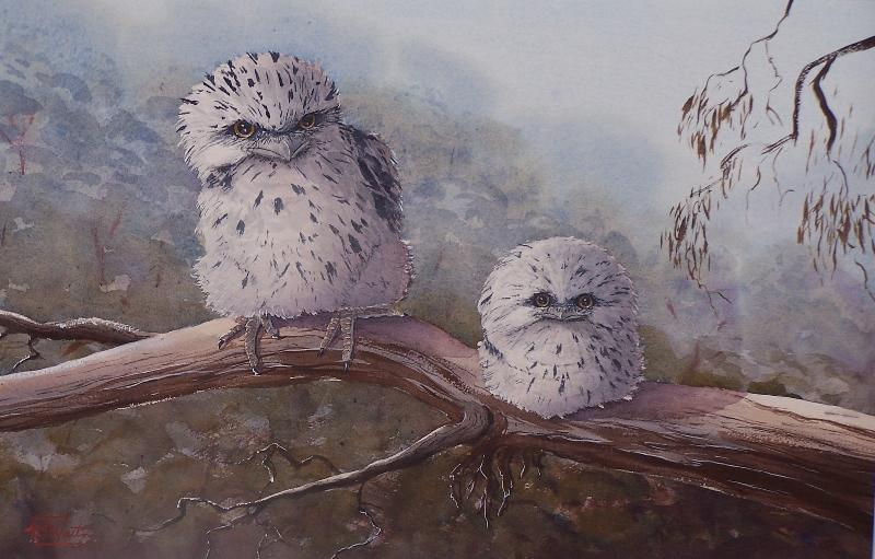 © Tony Weston - Two cute chicks, Baby Tawny Frogmouths